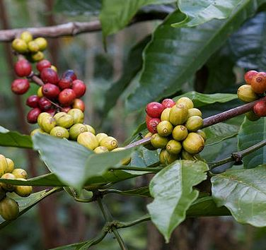 Brightly coloured coffee cheeries with bean inside adorn an Arabica plant