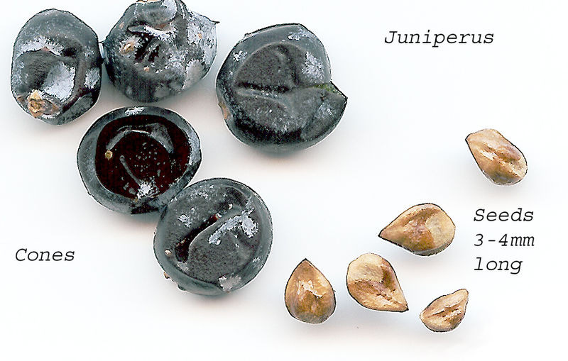 Dried juniper cones (berries) and seeds
